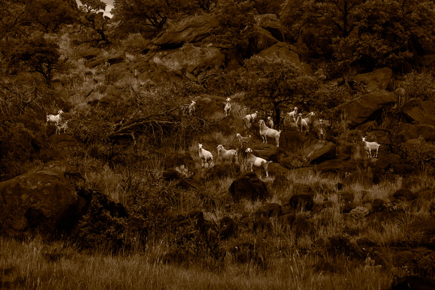 Goats on Lizard Mountain