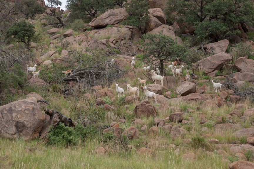 Goats on Lizard Mountain (as captured)