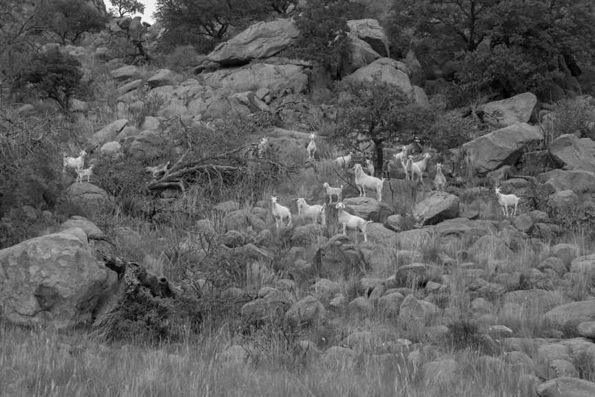 Goats on Lizard Mountain (desaturated)